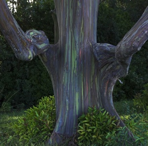 Rainbow Eucalyptus Trees in Kailua, Hawaii - Nature-Pictures.info